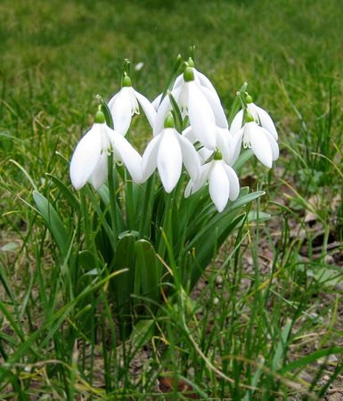 Snowdrops in January in a grass yard