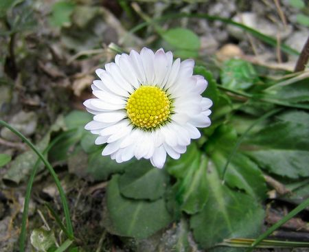 A small marguerite in January
