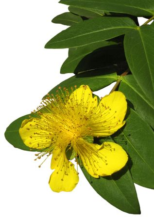 Yellow flower with leaves on blank background