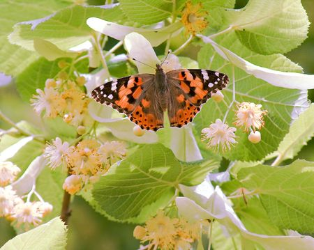 Painted Lady on a lime tree