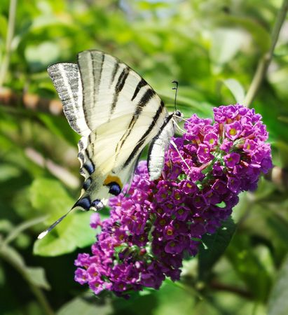 Swallowtail Butterfly on a Butterfly-bush Stock Photo - 5370826
