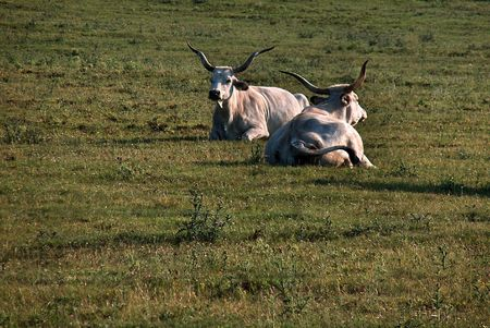 Two grey bulls on the hills of Tihany on the banks of Belso-to