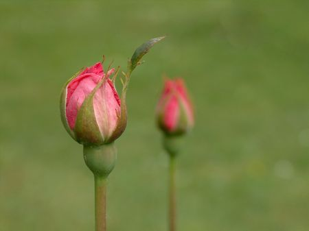 Flower - two red rosebuds Stock Photo