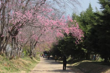 Tailandia de Sakura