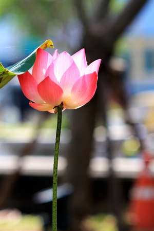 nymphs: lotus