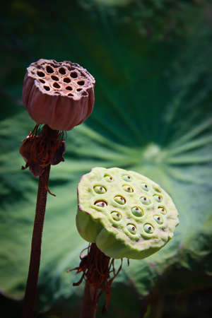 young and dried waterlily pods Stock Photo