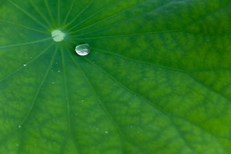 dew on waterlily leaf Stock Photo