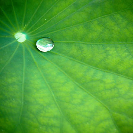 Water droplet on water lily leaf