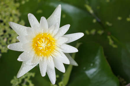 blooming white waterlily Stock Photo
