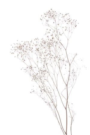 dried gypsophila  isolated on white  background photo