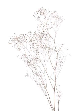 dried gypsophila  isolated on white  background