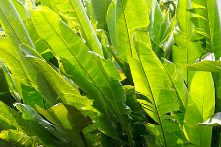 thicket: fresh banana leaf thicket