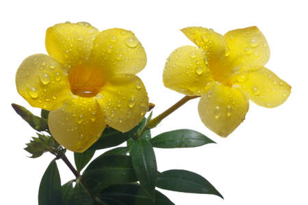 Golden Trumpet Vine Or Allamanda Cathartica Isolated On White Background Stock Photo