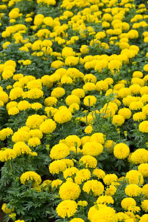 tagetes: yellow marigold or tagetes erecta field