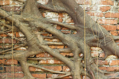 banyan tree roots overgrown old brick wall Stock Photo - 13449428