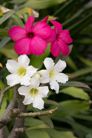 white and pink impala lily on the same tree