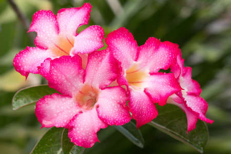 group of pink-white impala lily