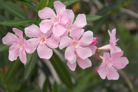 bouquet of pink oleander flower photo