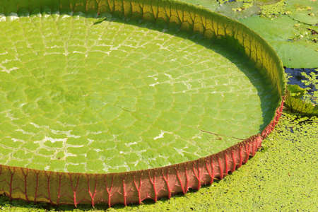 duckweed: verdurous victoria waterlily leaf texture Stock Photo