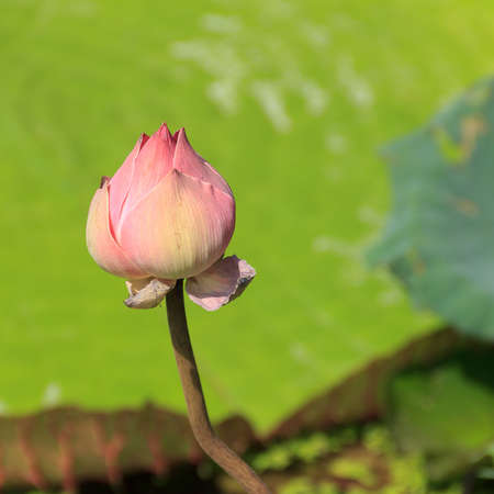 pink victoria waterlily bud  close up