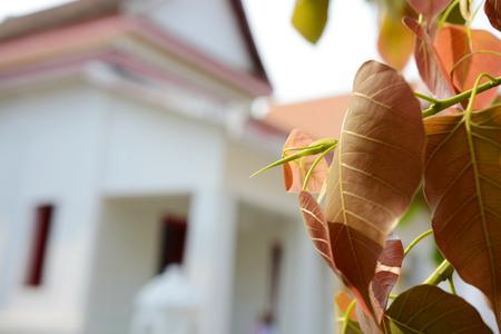 bo: Bo leaf in temple