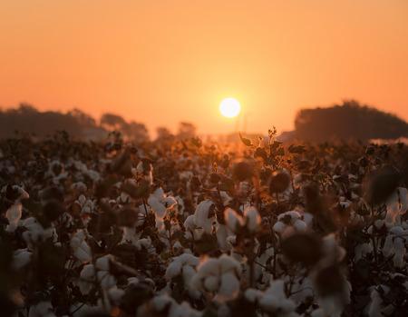 Cotton at the sunrise