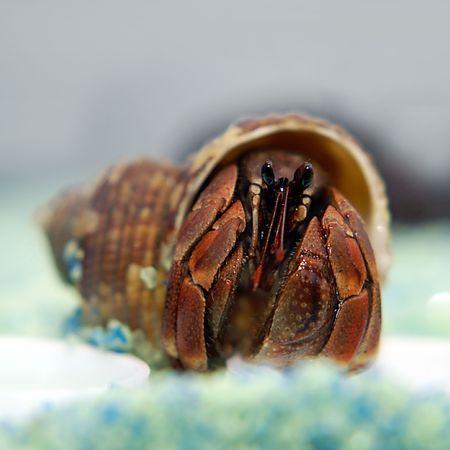 hermit: Hermit Crab                   Stock Photo