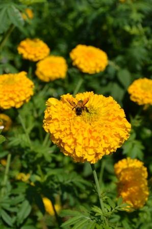 bee swarm: Bee swarm marigold  Stock Photo