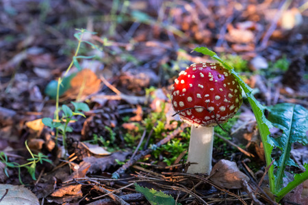 agaric: Autumn 2014. Russia. The suburbs of the Moscow.The fly agaric (Amanita Muscaria) in the light of the morning sun.