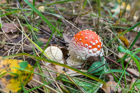 muscaria: Autumn 2014. Russia. The suburbs of the Moscow. Two little fly agaric (Amanita Muscaria) in the grass.