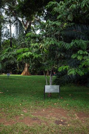 fabaceae: Sri Lanka. Kandy - August 16, 2015. The Royal Botanic Garden. The tree Yellow Saraca. Saraca Thaipingensis Fabaceae Malaya planted by the first cosmonaut Yuri Gagarin.
