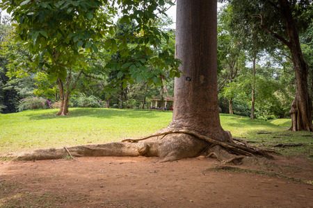 robusta: Sri Lanka. Kandy - August 16, 2015. The Royal Botanic Gardens. The trunk of the tree agathis Robusta Paws of Elephant.