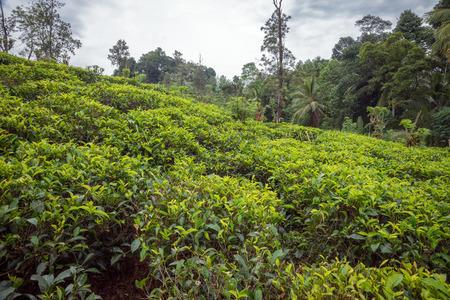 vicinity: Sri Lanka. Kandy - August 16, 2015. The Tea Plantation in the vicinity of Kandy.