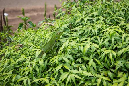lizard in field: Sri Lanka. Kandy - 16 de agosto de 2015. Los Royal Botanic Gardens. Lagarto en la rama de un arbusto.
