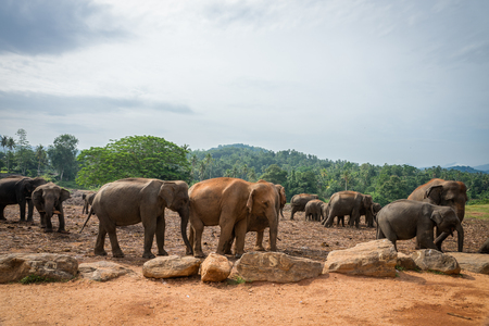 kandy: Sri Lanka. Kandy - August 16, 2015. The Elephants in the Nature not far from Kandy.