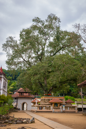 peepal tree: Sri Lanka. Kandy - August 16, 2015. The Temple of The Tooth of Buddah. The Territory Of The Temple. Editorial