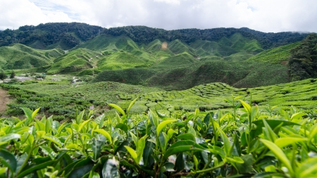 texas tea: tea plantation @ The Cameron Highlands is one of Malaysia