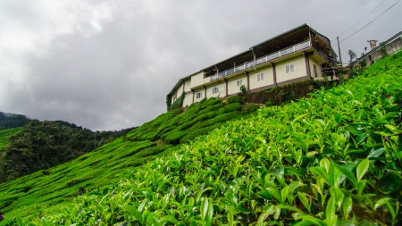 tea plantation @ The Cameron Highlands is one of Malaysia