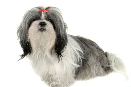 Young Shih Tzu puppy dog. Shot isolated on white.