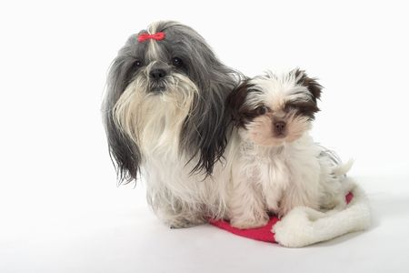 comic duo: Cute Shih Tzu dogs sitting on a Santa hat.  One is a 1 year old female dog and the other is a 3 month old puppy.