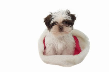 Cute little Shih Tzu baby wearing Santa's hat on the wrong end! Stock Photo - 612774