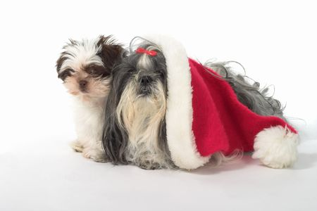 to obey: Cute Shih Tzu dogs, one wearing a Santa hat. Year old female dog and a 3 month old puppy. Stock Photo