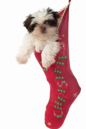 obedecer: Cute Shih Tzu cachorro de perro, colgado en una densidad de poblaci�n de Navidad.  Foto de archivo