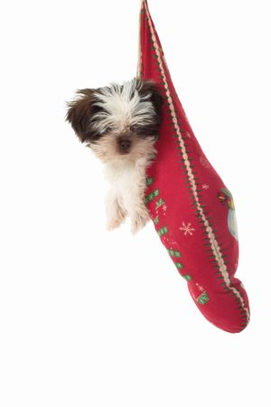 shih tzu: Cute Shih Tzu puppy dog, hanging in a Christmas stocking.