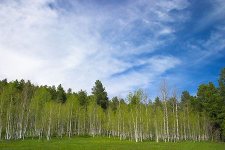 aspen trees and blue sky in the mountains Stock Photo - 784291