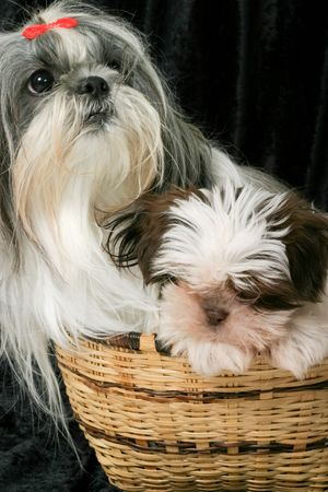 comic duo: Cute Shih Tzu puppy dogs sitting in a basket.  One adult female dog and the other a 3 month old puppy.