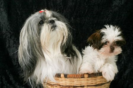 Cute Shih Tzu puppy dogs sitting in a basket.  One adult female dog and the other a 3 month old puppy.