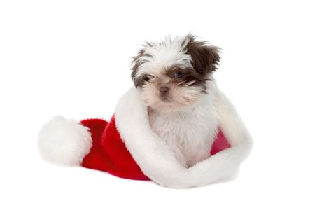 Cute little Shih Tzu puppy wearing a Santas hat on the wrong end!