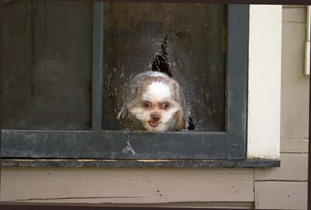 torn: After chewing through the screen door, Shih Tzu puppy anxiously breaks through to get to his master.