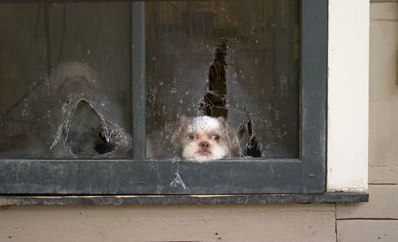 Shih Tzu puppy lies patiently awaiting the right time to break through the screen door he chewed up in planning his escape! Stock Photo - 3103276